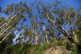 Eucalyptus Trees Ax Could Fall On San Carlos U0027 Historic Eucalyptus Trees Binkily
