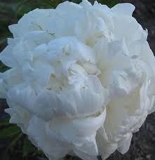 Peonies For Sale 14 Best Sass Peonies Images On Pinterest Flowers White Peonies