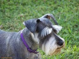 schnauzer hair styles 70 adorable miniature schnauzer dog images
