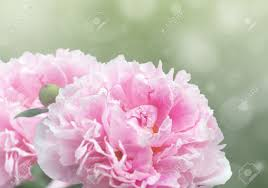 Peony Flowers Beautiful Dreamy Floral Background With Pink Peony Flowers Bokeh