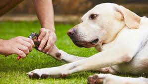 choosing and using dog nail clippers by the labrador site