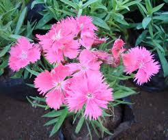 flowers for garden in india home outdoor decoration