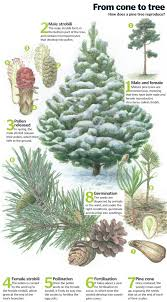 pine tree cycle from cone to forest how it works magazine