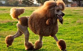 pictures of poodle haircuts the reason poodles have such weird haircuts modern notion