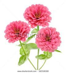 Zinnia Flower Zinnia Flower Stock Images Royalty Free Images U0026 Vectors