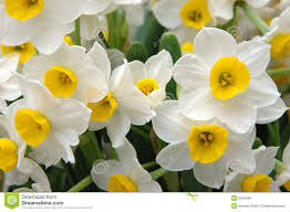 white daffodils royalty free stock photos image 2004988