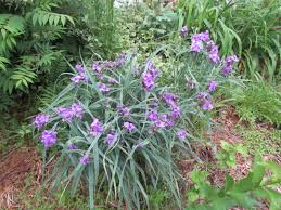 Please Identify These Purple Flowers Ask An Expert
