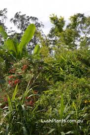 Tropical Plants For Garden - tropical plants and tropical gardens for dry climates lush