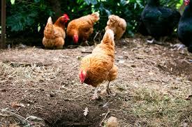 keeping chickens burke u0027s backyard