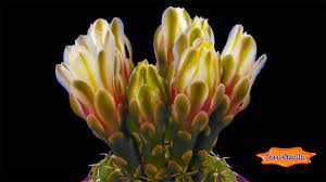 blooming flower cactus bud screensaver u0026 animated desktop
