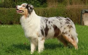 australian shepherd herding sheep australian shepherd dog breed standards