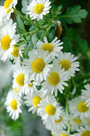 601 best oopsie daisy images on pinterest daisies flowers