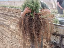 asack u0026 son christmas tree farm u0026 christmas tree seedlings and