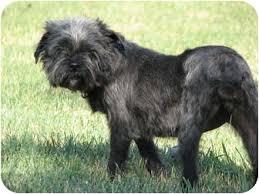 affenpinscher missouri alice in wichita ks adopted dog seymour mo affenpinscher