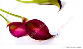 purple calla flowers calla lilies zantedeschia rehmannii stock picture