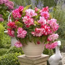 begonia flower pink balcony longfield gardens