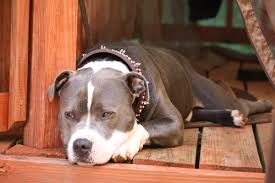 american pitbull terrier hoobly blue pitbull stud available for 200 and pick of female pup in