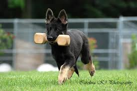 belgian shepherd for sale australia von der felsenstadt german shepherds dc metro area frederick
