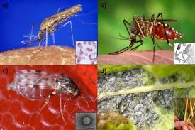 Diseases In Plants And Animals - the population dynamics of vector borne diseases learn science