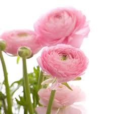 ranunculus flower how to care for ranunculus