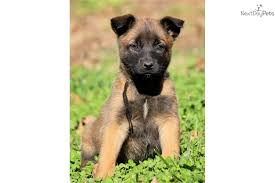 belgian sheepdog for sale in texas belgian shepherd malinois puppies puppy dog gallery