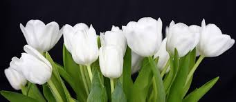 white tulips white tulips flowers pictures free white tulip flower images free