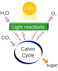 G Stige U K Hen Fotosyntese Eanswers