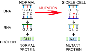 a case study of the effects of mutation sickle cell anemia