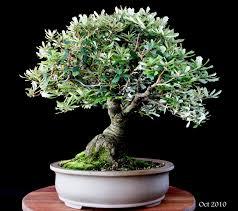 bonsai australian native plants banksia bonsai pinterest bonsai plants and flowers