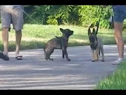 belgian shepherd dog puppies for sale belgian malinois and dutch shepherd puppies for sale youtube
