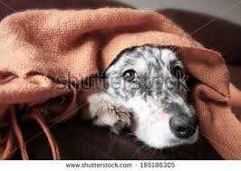 commercials with australian shepherds border collie australian shepherd mix dog stock photo 213921625