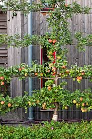 apple tree espalier is that the right name for this joys in