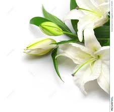 white lillies bouquet of white lilies stock photo 21350281 megapixl