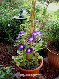 morning glories in a pot with bamboo stakes thumbnail by