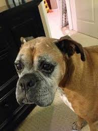 8 month old boxer dog weight oldest living boxer dogs stats