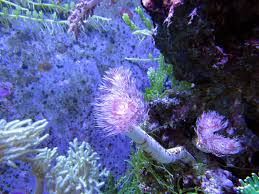 Reef Aquarium Lighting Free Images Underwater Coral Reef Invertebrate Beauty