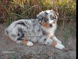 australian shepherd 11 weeks old fifteen acre farms australian shepherds australian shepherd