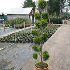 Topiary Plants Online - topiary plants for sale order pom pom trees online buy topiary