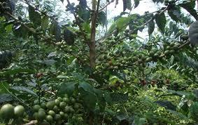 Snake Fruit Tree - universitas gadjah mada to minimise sedimentation ugm develops
