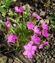 dianthus glacialis north american rock garden society