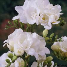 freesia flower white freesia american