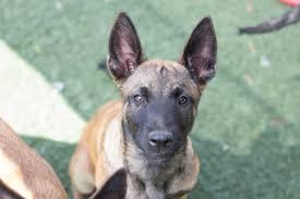 belgian shepherd el paso puppies and dogs for sale in alger michigan