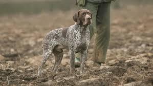 pretty bird dog breeds dog breeds puppies what does a bird dog