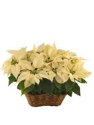 white poinsettia white poinsettia blooming plant christmas flower shop