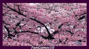 Cherry Blossom Facts by Sakura Wallpaper Android Apps On Google Play