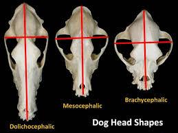 affenpinscher vs german shepherd a dog u0027s size and head shape predicts its behavior psychology today