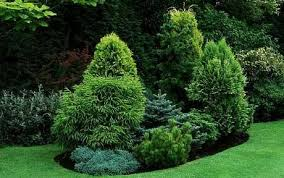 Evergreen Landscaping Ideas Gardening Week Ahead Brown Conifer Hedges Lawn Pine And Brown