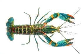 liveaquaponics com australian red claw crayfish cherax