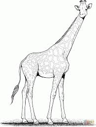 download coloring pages giraffe coloring giraffe coloring