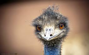 download wallpaper emu bird ostrich free desktop wallpaper in